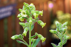 Flowers on hopi tobacco plant Royalty Free Stock Photo