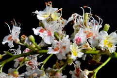 Flowers of horse chestnut Stock Images