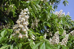 The flowers of horse-chestnut Royalty Free Stock Images