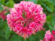 Flowers of horse-chestnut in garden stock images
