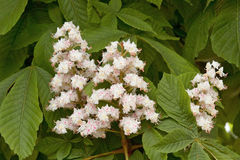 Flowers of horse chestnut Royalty Free Stock Photo