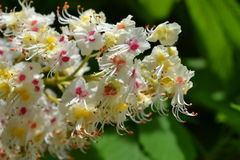 Flowers of horse chestnut Stock Image