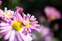 Flowers and a Hover Fly. Hoverfly on magenta colored flower Stock Images