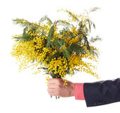 Flowers. Human hand with mimosa flowers Stock Photography