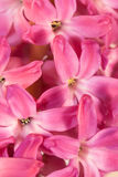 Flowers of hyacinth Royalty Free Stock Images
