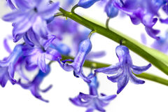 Flowers hyacinth macro closeup spring Royalty Free Stock Images