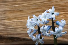 Flowers hyacinths on the background of a wooden block stock image