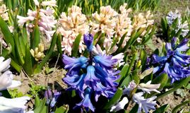 Flowers hyacinths growing on the farm. hyacinth flowers in the garden. Beautiful outdoor scenery stock photos