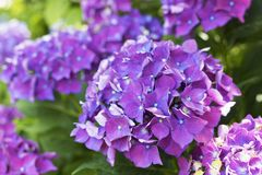 Flowers of the hydrangea Royalty Free Stock Image