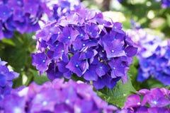 Flowers of the hydrangea Stock Photos