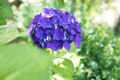 Flowers of the hydrangea Royalty Free Stock Images