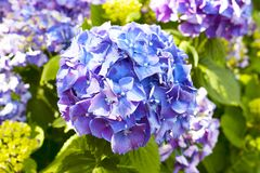 Flowers of the hydrangea Royalty Free Stock Photography