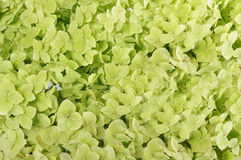 Flowers of a hydrangea. Of green color Stock Photography