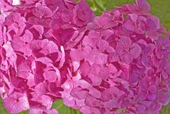 Flowers of hydrangea. Close-up photo of pink hydrangea in bloom with drops of water on its petals Stock Photography