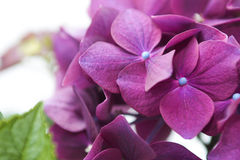 Flowers Hydrangea . Stock Photos