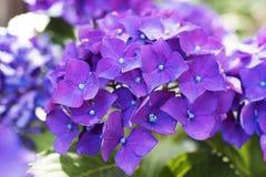 Flowers of the hydrangea Stock Image