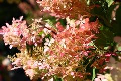 Hydrangea in light. Royalty Free Stock Photo
