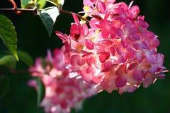 Hydrangea inflorescence. Stock Photo