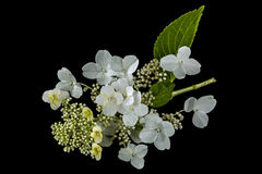 Flowers of hydrangea, isolated on black background stock images