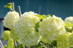 Flowers of Hydrangea Macrophylla Stock Image