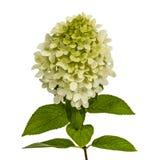 Flowers of hydrangeas paniculata, lat.Hydrangea paniculata Stock Images