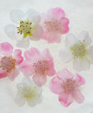 Flowers in ice. Pink and white flowers in ice Royalty Free Stock Photo