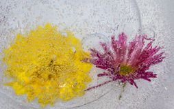 Flowers in the ice with bubbles. Background. Stock Photo