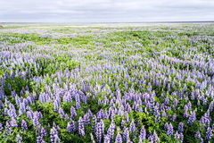Flowers in Iceland. Tundra landscape in Iceland with flowers Royalty Free Stock Photos