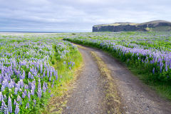 Flowers in Iceland. Tundra landscape in Iceland with flowers Royalty Free Stock Image