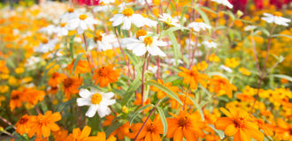 Flowers Royalty Free Stock Image
