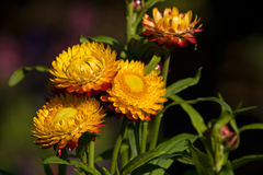 Flowers of immortelle. Yellow red flowers of immortelle Stock Image