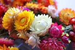 Helychrysum - immortelle flowers Stock Photos