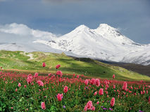 Flowers In Alpine Meadow Stock Images