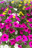 Flowers including petunias in baskets Royalty Free Stock Photography