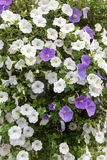 Flowers including petunias in baskets Royalty Free Stock Photos