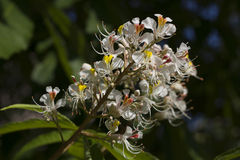 Flowers of an Indian horse chestnut tree Royalty Free Stock Image