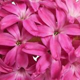 Flowers on the inflorescence of crimson hyacinth royalty free stock image