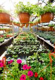 Flowers inside a garden center greenhouse, wide angle photo. Stock Images