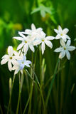 Flowers ipheion uniflorum Stock Image