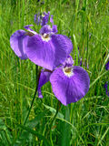 Flowers of Iris. A close-up of the purple flovers of iris (Iris laevigata) on slumpy meadow. Russian southern Far East, Primorye Stock Photography