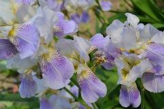 Flowers Iris. Beautiful flowers of blue color Stock Image