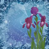 Flowers iris for holiday design Stock Photo