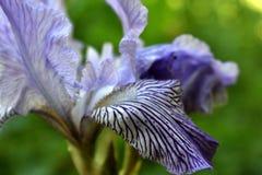 Japanese Iris flowers Stock Images