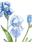Flowers of Iris. Watercolor hand drawn botanical illustration of flowers isolated on a white background. Flowers of Iris. Watercolor hand drawn botanical Royalty Free Stock Image