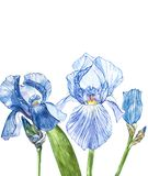 Flowers of Iris. Watercolor hand drawn botanical illustration of flowers isolated on a white background. Flowers of Iris. Watercolor hand drawn botanical Royalty Free Stock Photo