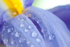 Flowers irises Stock Images