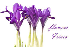 Flowers Irises Stock Image