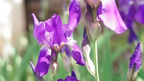 Beautiful lilac flowers irises in early spring stock video footage