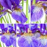 Flowers irises Royalty Free Stock Images