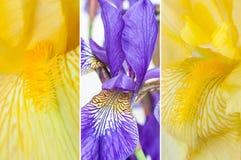 Flowers irises Royalty Free Stock Image